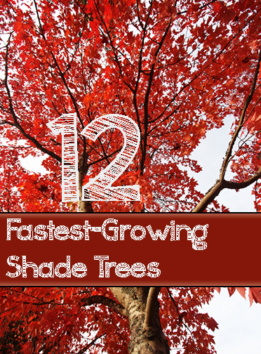 12 Fast Growing Shade Trees For Your Yard