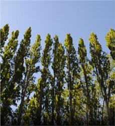 Shade Trees, Shade Trees to Grow, Trees to grow, Trees To Grow In Pots, Trees to grow in Shade, Shade Plants, Shade GardenShadeTrees #FastGrowingShadeTreesforPrivacy