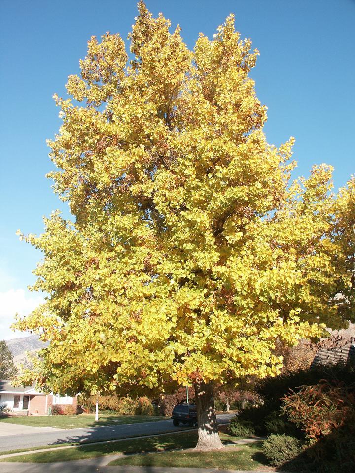 Shade Trees, Shade Trees to Grow, Trees to grow, Trees To Grow In Pots, Trees to grow in Shade, Shade Plants, Shade Garden