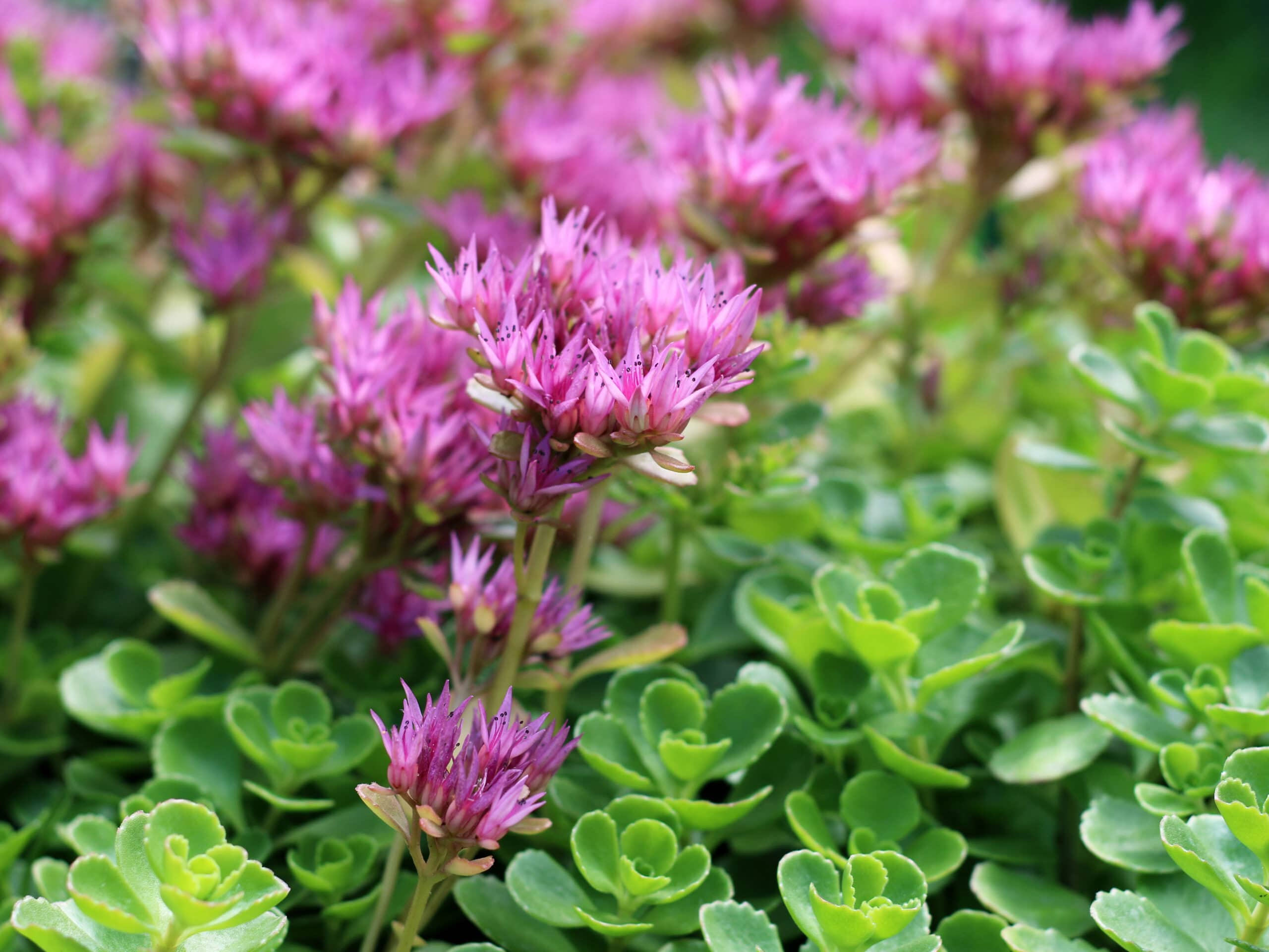 John Creech Sedum ground cover