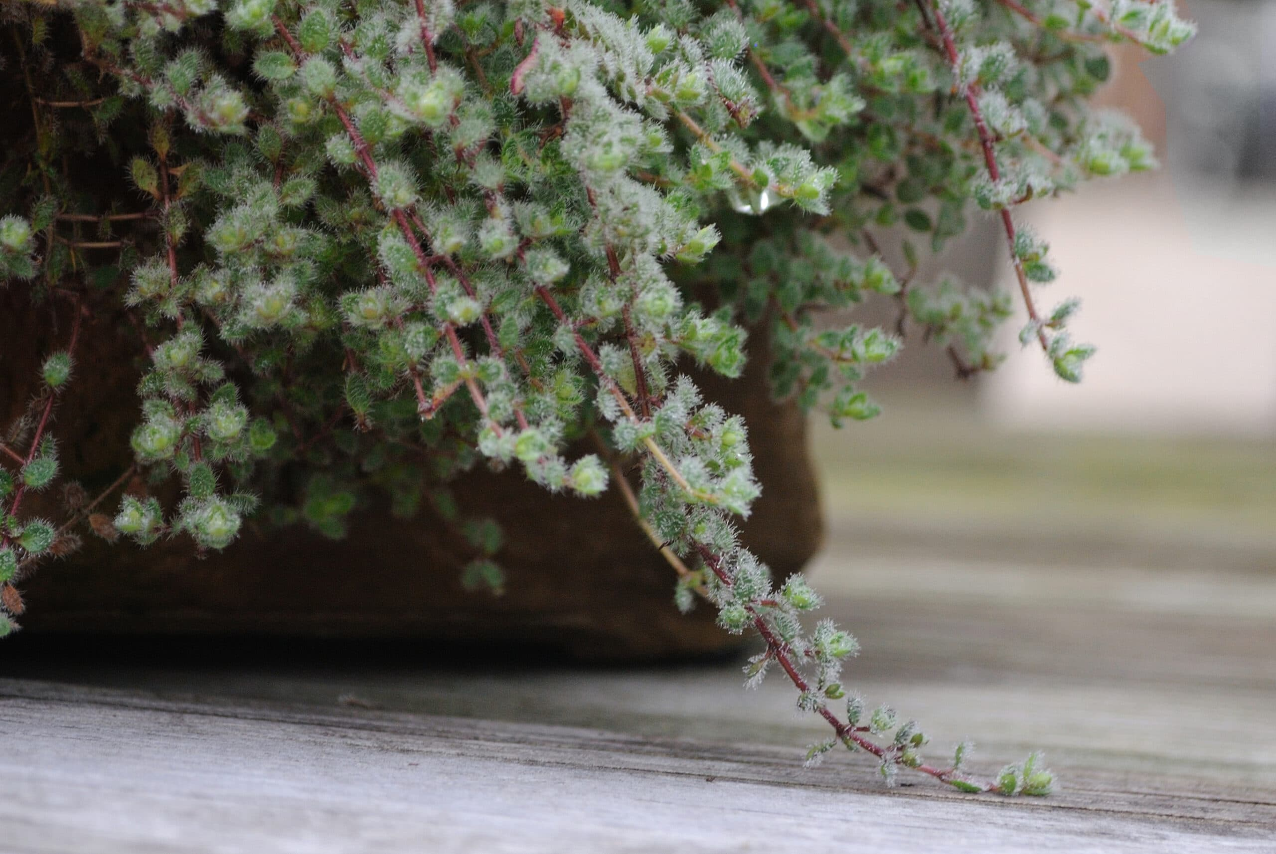 wooly Thyme. A garden stepable