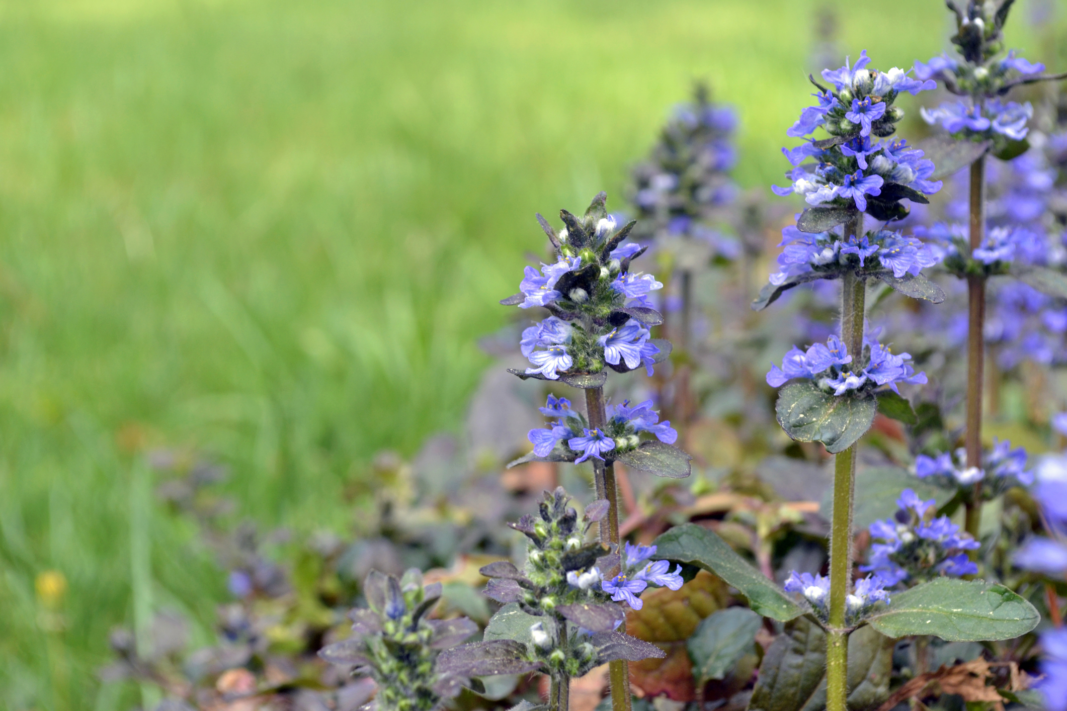 stepable plants. ajuga chocolate chip