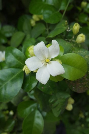 Here is a list of amazing fragrant plants that smell heavenly. Get to know 10 fragrant plants with scents to die for. Perfect for the green thumb who loves to smell what they've grown! You will love having gardenias in your yard.