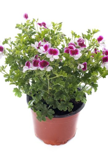 Here is a list of amazing fragrant plants that smell heavenly. Get to know 10 fragrant plants with scents to die for. Perfect for the green thumb who loves to smell what they've grown! Scented geraniums are always a great pick.