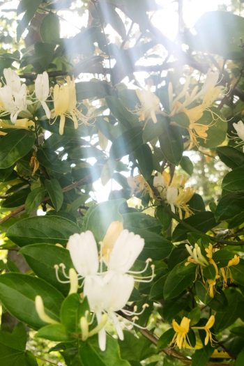 Here is a list of amazing fragrant plants that smell heavenly. Get to know 10 fragrant plants with scents to die for. Perfect for the green thumb who loves to smell what they've grown! Honeysuckles are great climbing vines that smell amazing.