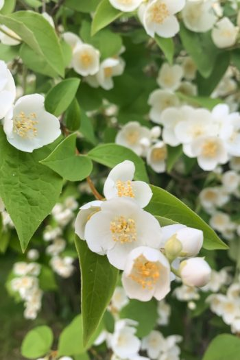 Here is a list of amazing fragrant plants that smell heavenly. Get to know 10 fragrant plants with scents to die for. Perfect for the green thumb who loves to smell what they've grown! You can't ever go wrong with Jasmine.