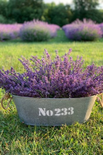 Here is a list of amazing fragrant plants that smell heavenly. Get to know 10 fragrant plants with scents to die for. Perfect for the green thumb who loves to smell what they've grown! You can't go wrong with Lavender.