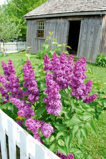 Here is a list of amazing fragrant plants that smell heavenly. Get to know 10 fragrant plants with scents to die for. Perfect for the green thumb who loves to smell what they've grown! Lilacs bushes look beautiful and smell amazing.
