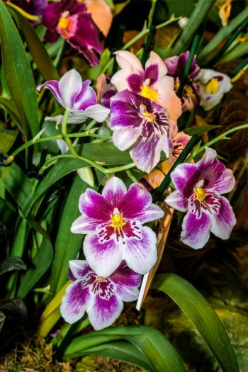 Here is a list of amazing fragrant plants that smell heavenly. Get to know 10 fragrant plants with scents to die for. Perfect for the green thumb who loves to smell what they've grown! Pansy Orchids are so beautiful and smell even better than they look.