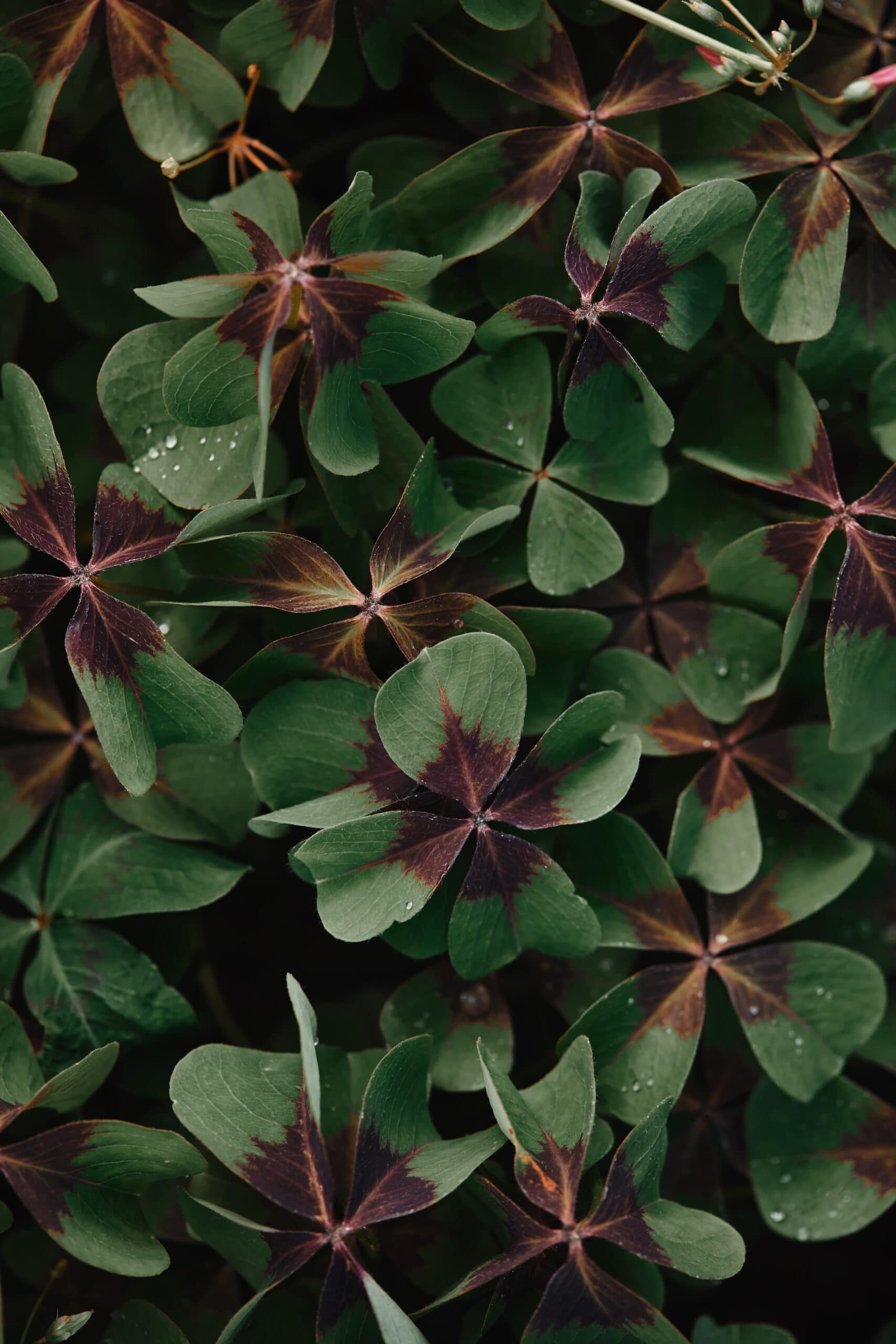 Bronze Dutch Clover