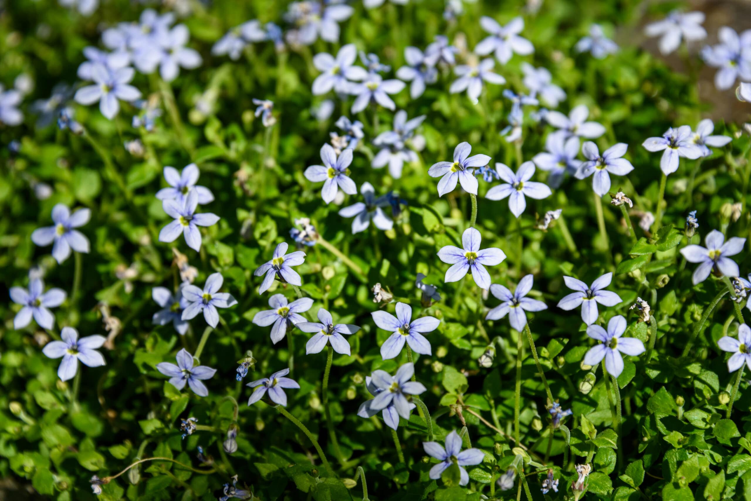 Creeping Blue Star Ground Cover