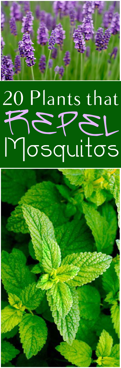 Natural pest control, gardening hacks, garden pest control, tips and tricks, gardening tips and tricks, popular pin, mosquito repellent, natural mosquito repellent