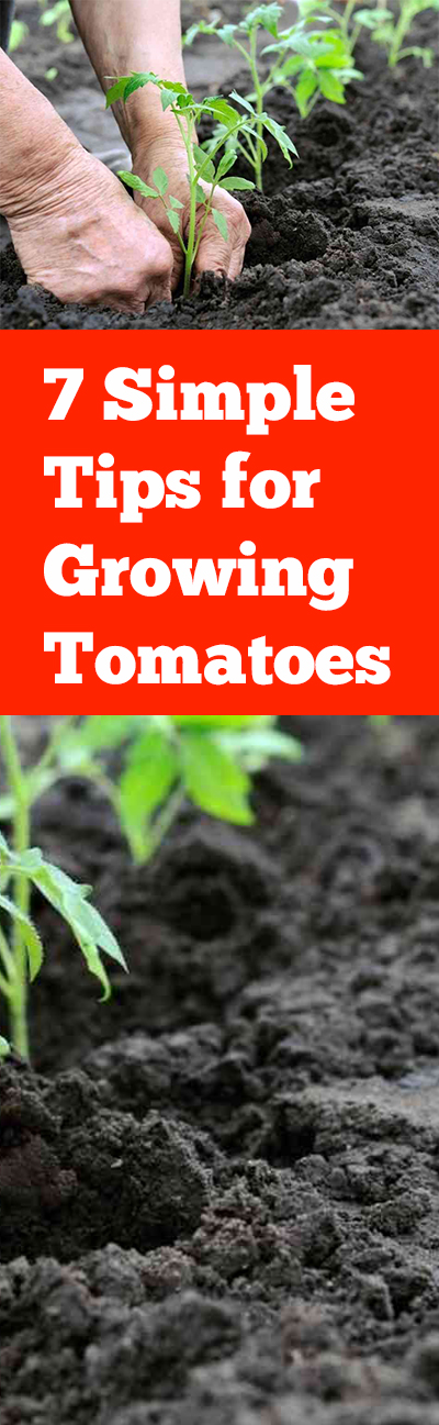 Tomato gardening, gardening tomatoes, tomato gardening tips, popular pin, gardening, vegetable gardening tips, vegetable gardening hacks.