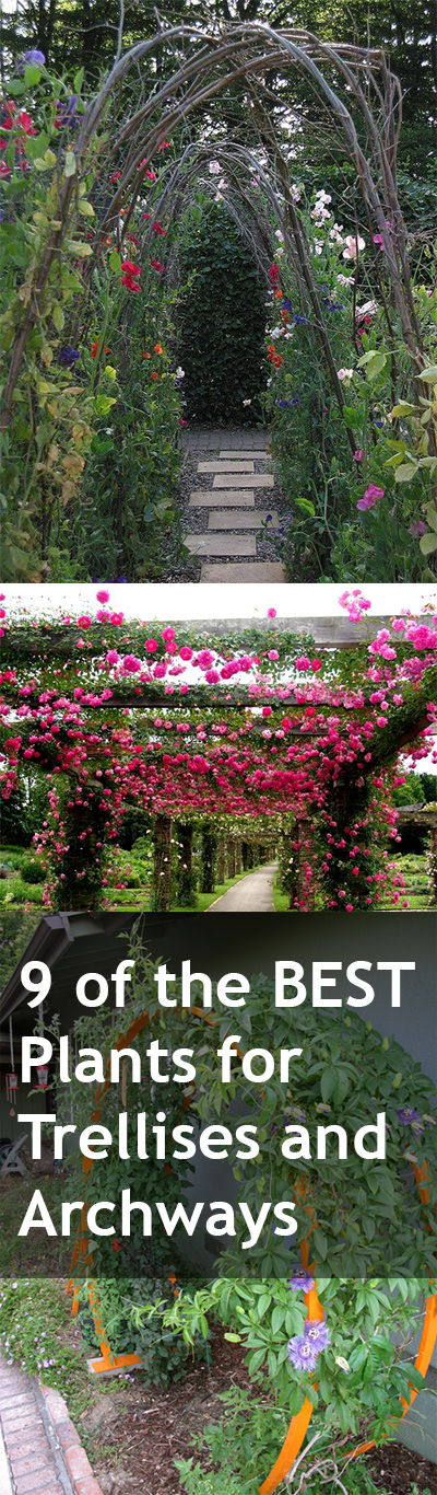9 of the BEST Plants for Trellises and Archways