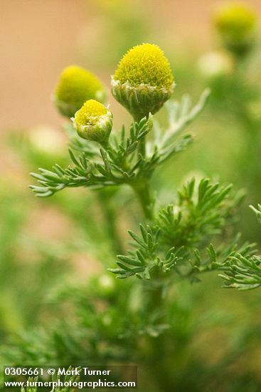 Don't worry anymore about those pesky bugs, try some of these mosquito repelling plants!  You will love having pineapple weed in your back yard!