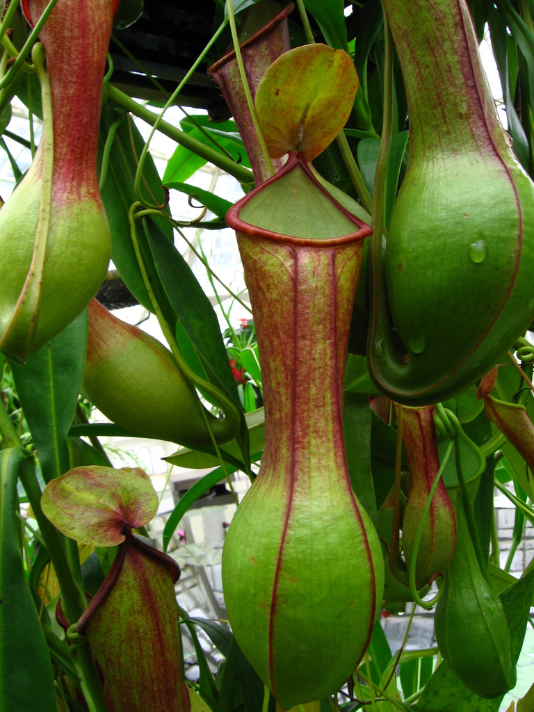 Don't worry anymore about those pesky bugs, try some of these mosquito repelling plants! These pitcher plants will look great in your yard!