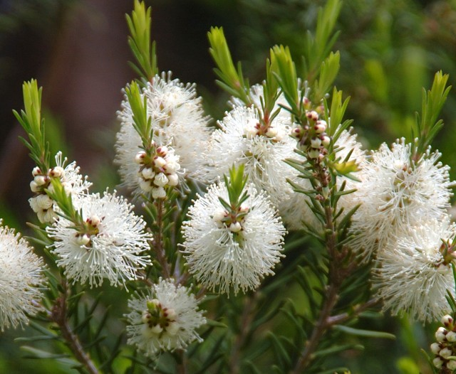 Don't worry anymore about those pesky bugs, try some of these mosquito repelling plants! You will love having tea tree in your yard!