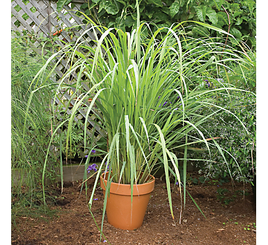 Don't worry anymore about those pesky bugs, try some of these mosquito repelling plants! You will love this citronella plant!