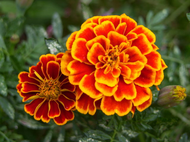 Don't worry anymore about those pesky bugs, try some of these mosquito repelling plants! You will love the way these marigolds look in your yard!