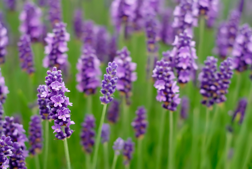 Don't worry anymore about those pesky bugs, try some of these mosquito repelling plants! You will love having lavender in your yard!