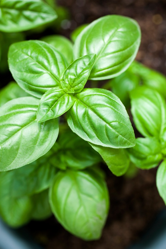 Don't worry anymore about those pesky bugs, try some of these mosquito repelling plants! You will love having basil in your yard!