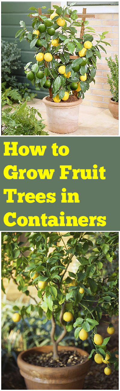 Fruit tree gardening, fruit tree gardening, container gardening, popular pin, fruit gardening hacks.