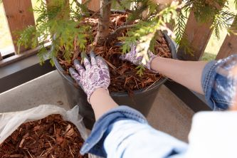 Use mulch when growing fruit trees in containers