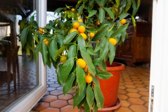 how to grow fruit trees in containers. Citrus tree inside the house.