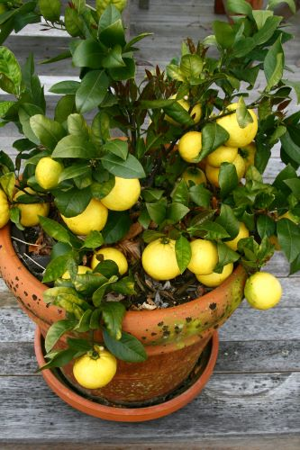 fruit trees in containers need sunlight