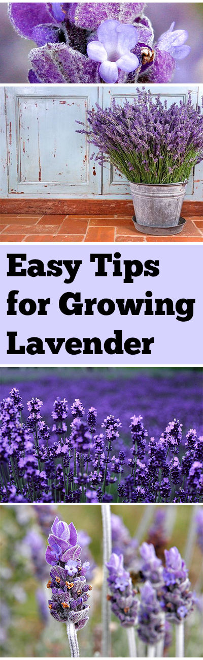Growing lavender, how to grow lavender, lavender tips and tricks, lavender growing, things to do with lavender, lavender oil, popular pin, gardening, gardening hacks, tips and tricks.