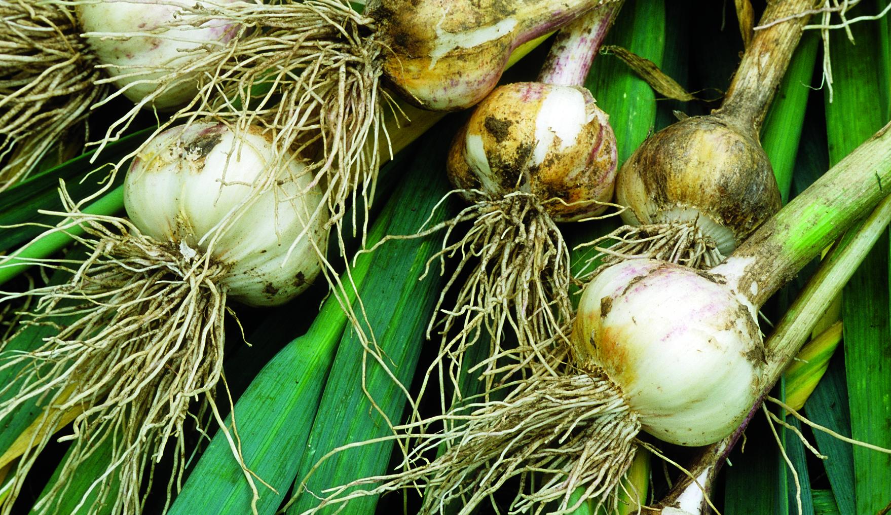 Garlic, Garlic cloves, Garlic bulbs, Fresh Garlic, Braided Garlic, Fields of Garlic, Garlic Drying, Allium sativum, Da-suan