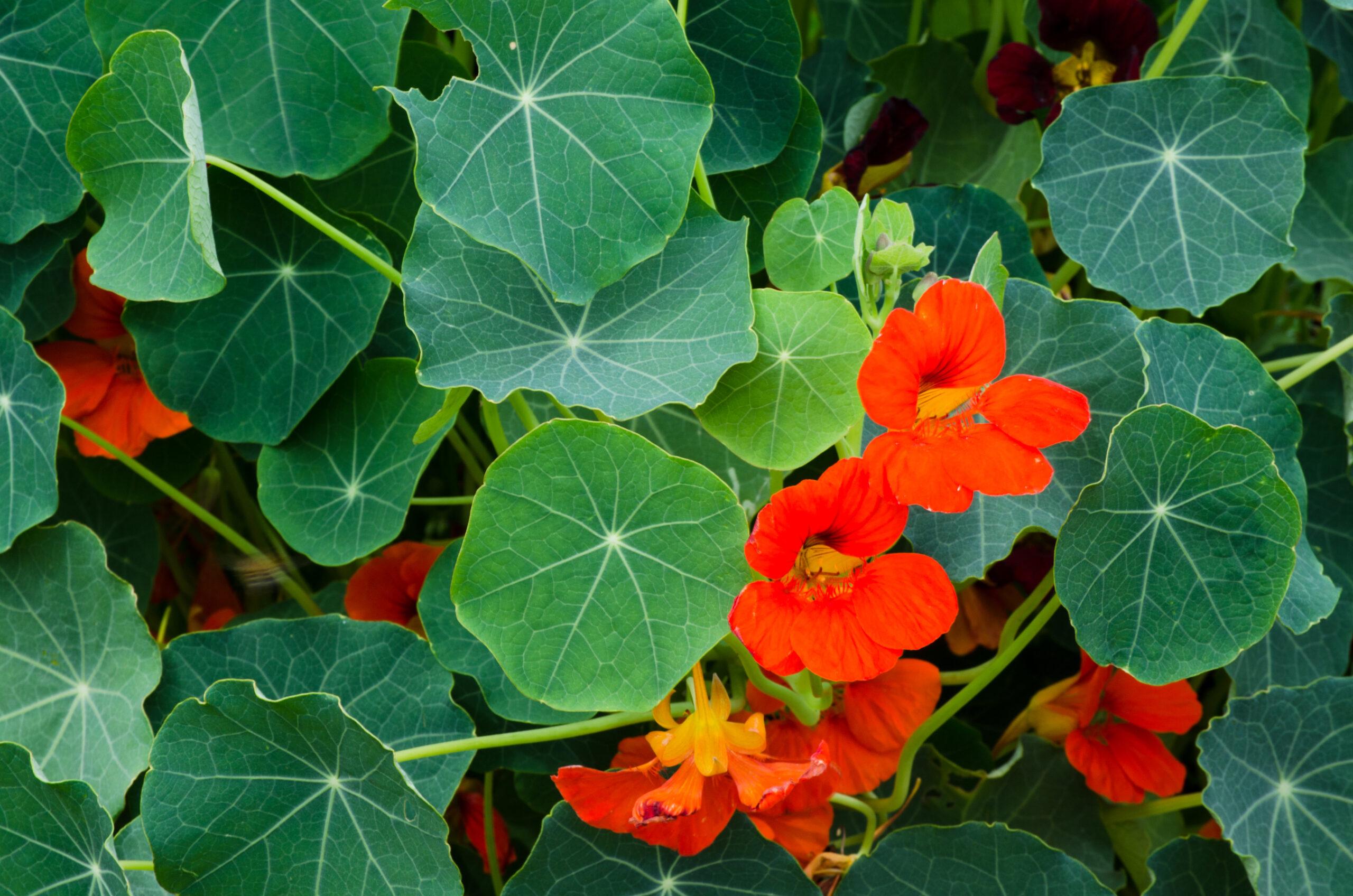 nasturtium-plants that repel flies