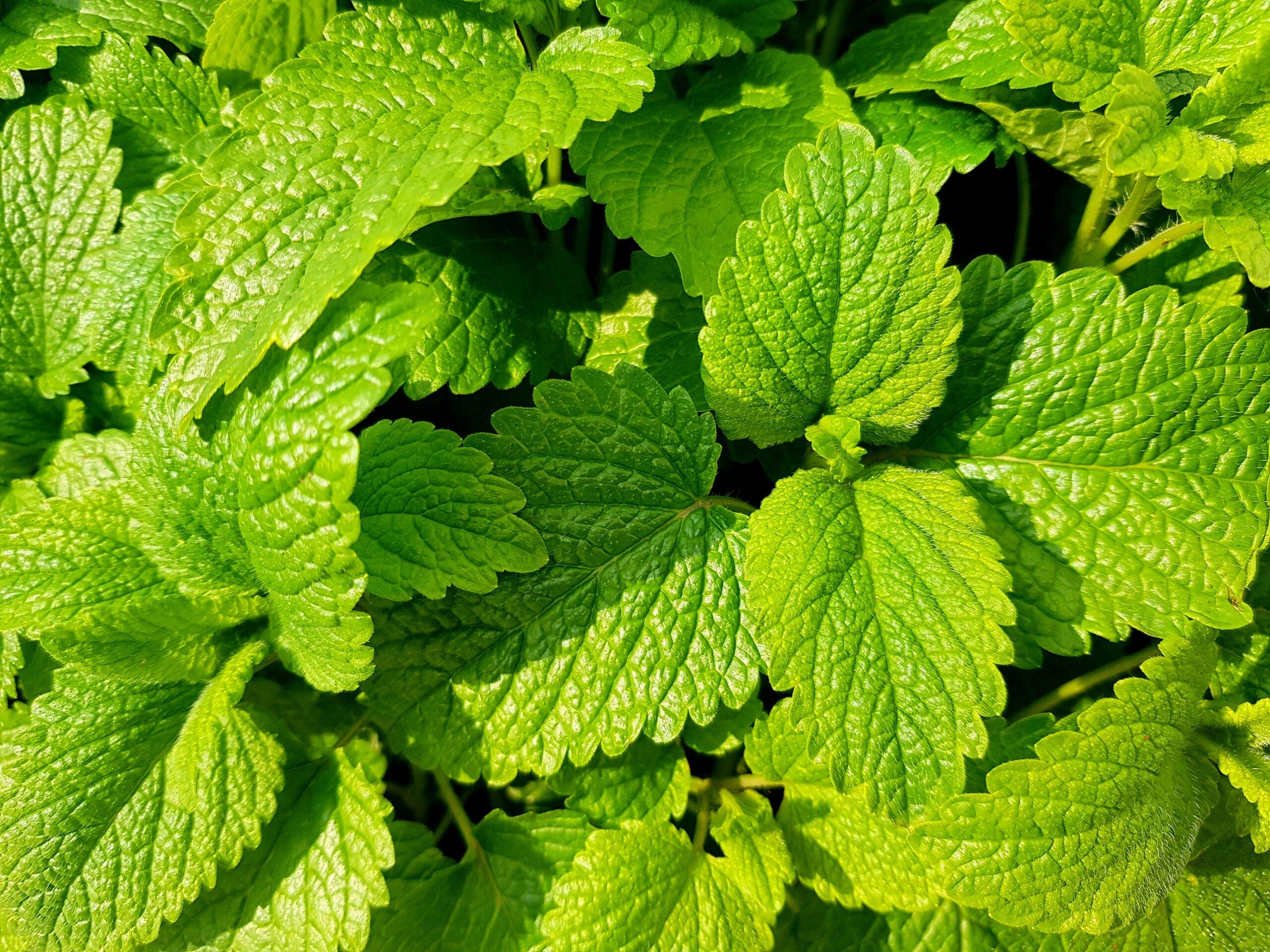 Mint-plants that repel flies