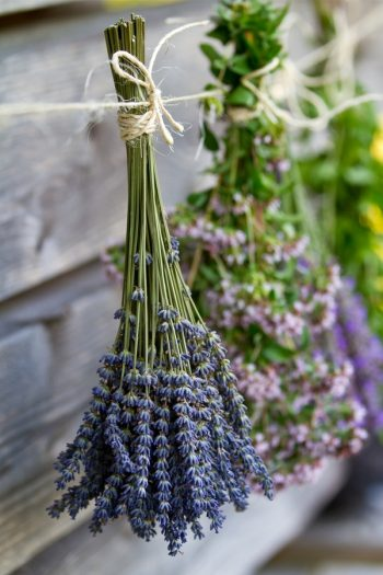 Learn about growing lavender--easily! We have gardening and care tips to help you grow the best lavender. Here are the dos and don'ts of growing your own lavender at home. You will love having lavender at home!