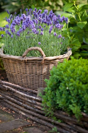 Learn about growing lavender--easily! We have gardening and care tips to help you grow the best lavender. Here are the dos and don'ts of growing your own lavender at home.