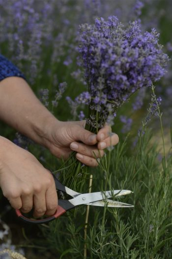 Learn about growing lavender--easily! We have gardening and care tips to help you grow the best lavender. Here are the dos and don'ts of growing your own lavender at home. See what you can do!