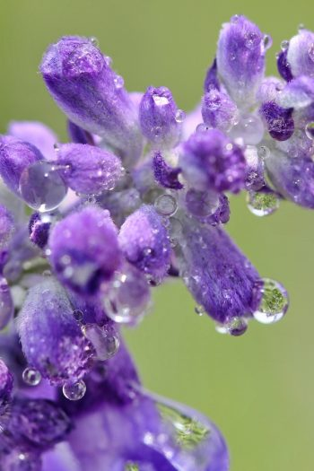 Learn about growing lavender--easily! We have gardening and care tips to help you grow the best lavender. Here are the dos and don'ts of growing your own lavender at home. Take a look!