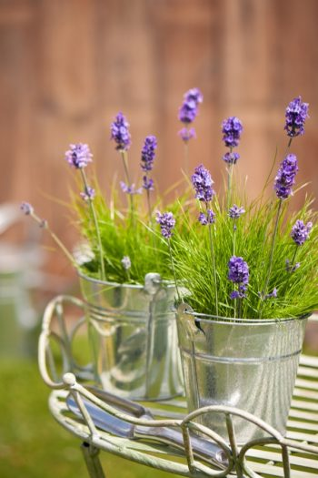 Learn about growing lavender--easily! We have gardening and care tips to help you grow the best lavender. Here are the dos and don'ts of growing your own lavender at home. Check them out!