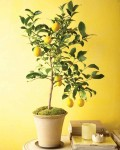 How to Grow Fruit Trees Indoors| Indoor Plants, Indoor Garden, Indoor Gardening, Gardening Ideas, Indoor Gardening Ideas, DIY Garden Ideas #IndoorPlants #IndoorGarden #IndoorGardening #GardeningIdeas