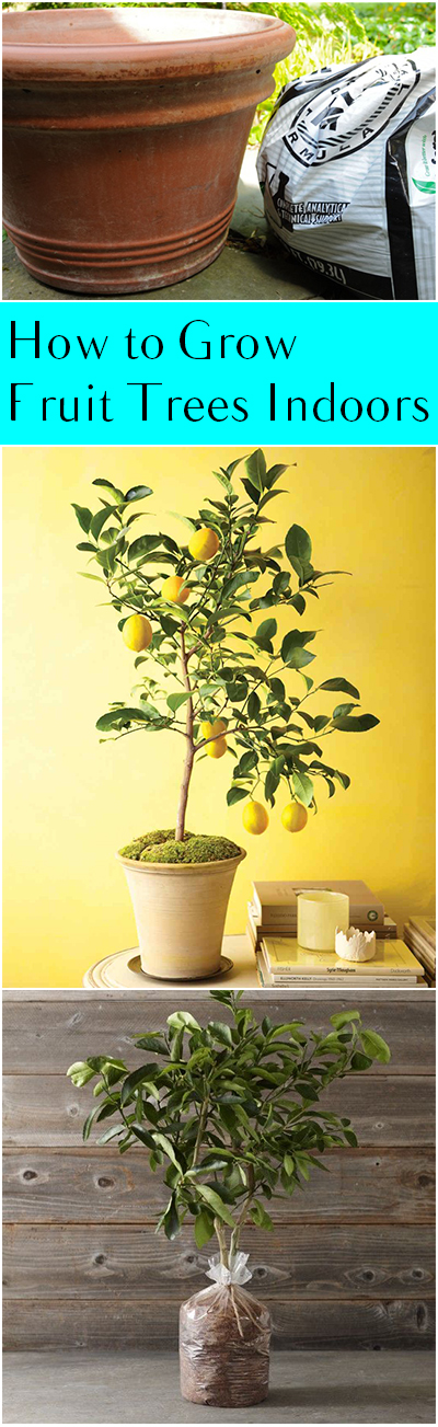 How to Grow Fruit Trees Indoors - Bless My Weeds