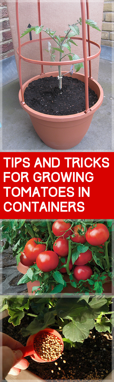 Tips and Tricks for Growing Tomatoes in Containers  Garden Ideas: Growing Tomatoes In Pots, Growing Tomatoes from Seed, Vegetable Gardening, Gardening for Beginners Vegetable, Vegetable Garden Ideas, Container Gardening, Container Gardening Vegetables