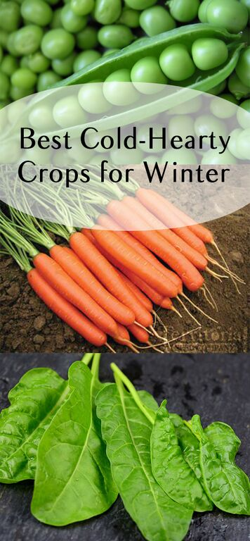 Winter crops, winter veggies, cold weather veggies, popular pin, gardening, vegetable garden, garden hacks, must-know gardening tips.