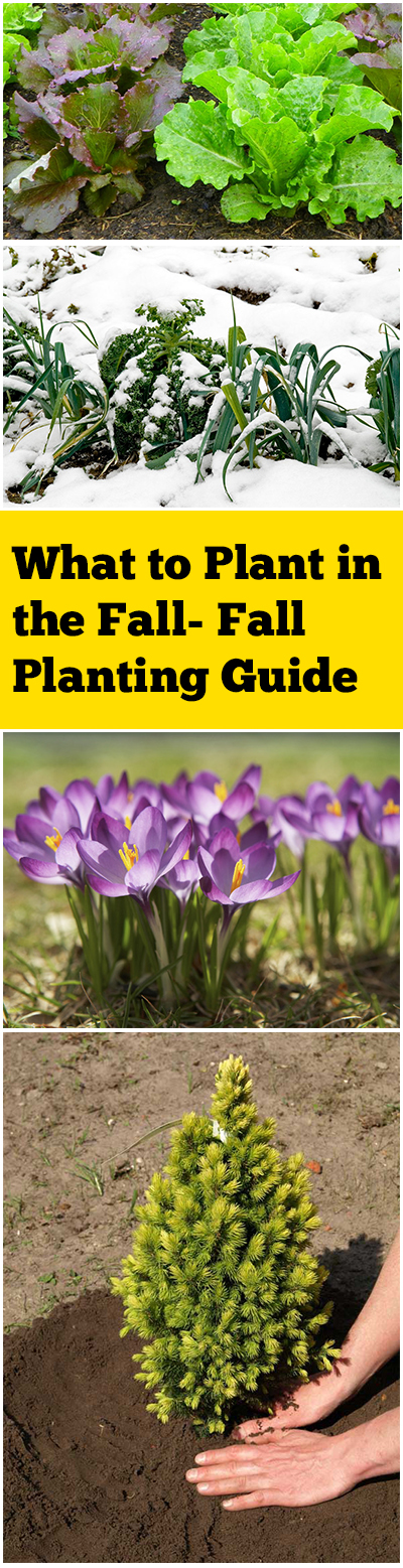 What to Plant in the Fall- Fall Planting Guide| Fall Garden, Fall Garden Vegetables,   Fall Garden Flowers, Flower Garden, Flower Gardening, Flower Gardening Ideas,  Flower Gardening for Beginners, Vegetable Gardening, Vegetable Gardening for Beginners, Popular Pin #Gardening #FallGarden #FallGardenVegetables #FallGardenFlowers