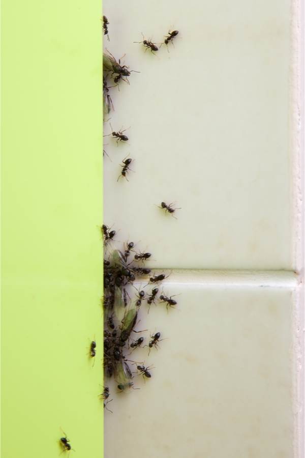 Kill Ants Naturally