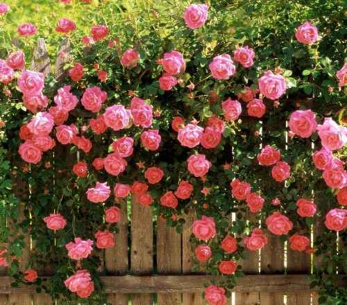 Roses, rose garden, growing roses, how to grow roses, gardening, gardening tips, popular pin.