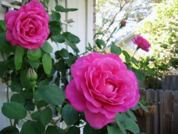 Roses, rose garden, growing roses, how to grow roses, gardening, gardening tips, popular pin, Climbing Roses
