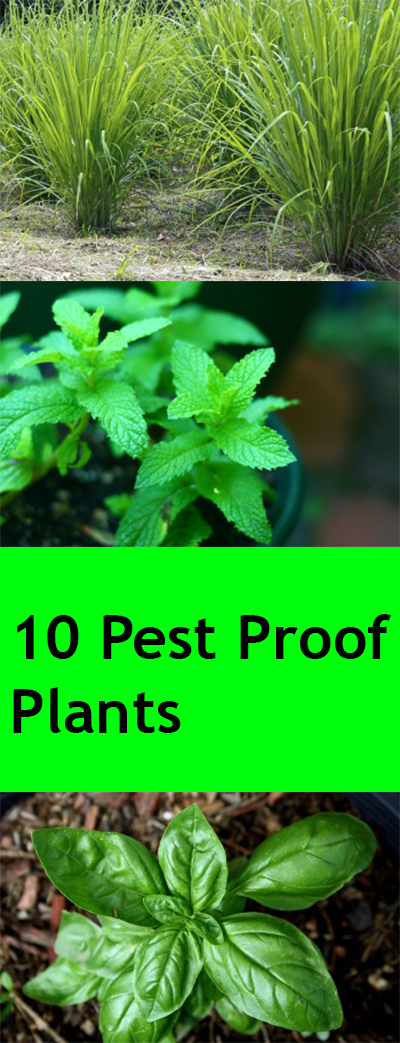 Pest proof plants, natural pesticides, pesticides, DIY garden pesticides, gardening hacks, gardening tools, easy gardening.
