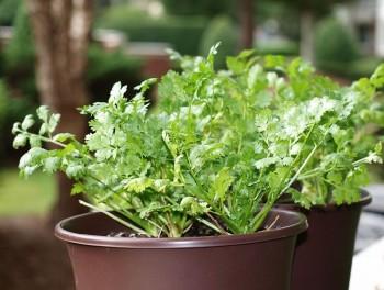 10 Herbs That Regrow3