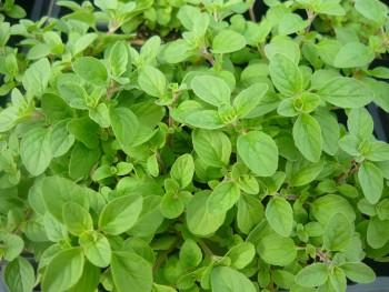 grow herbs in water- oregano