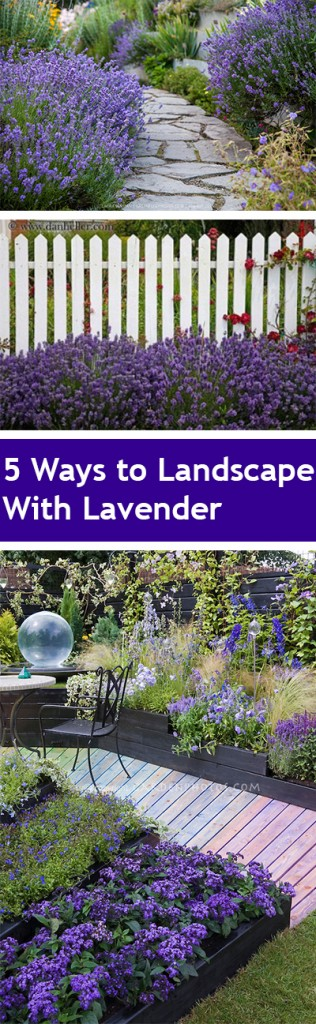 Landscaping, landscaping ideas, landscape hacks, popular pin, DIY landscape, lavender, how to grow lavender, lavender growing tips.